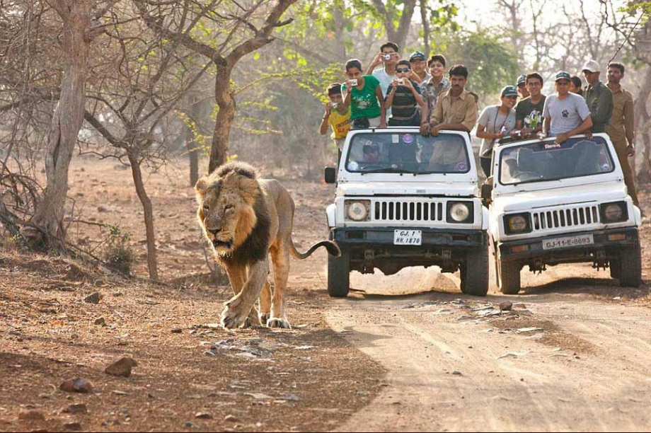 Gir-Forest-Lions safari