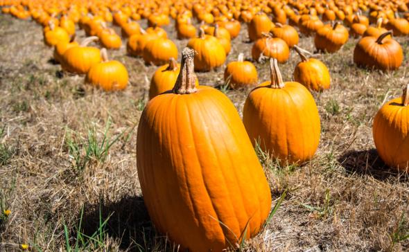 find-the-pumpkin